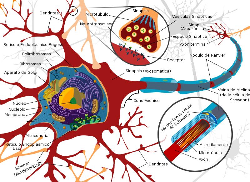 funciones del cerebro humano. Pero el cerebro humano es un